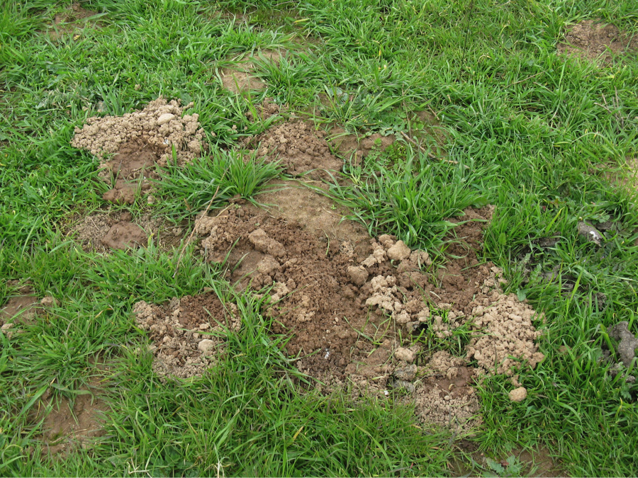 Making mounds out of molehills? The role of pocket gophers ...