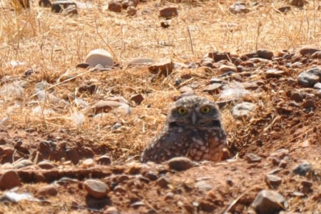Burrowing Owl looking out from a ground squirrel burrow. Photo by Chris Swa