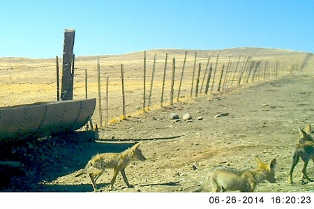 Three coyote pups in Vernal Pools Reserve, UC Merced.