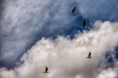 ng-billed Curlews flying over UC Merced's Vernal Pool Reserve. Photo by Dorothy Leland