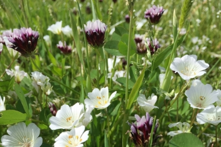 Meadowfoam and Whitetip Clover