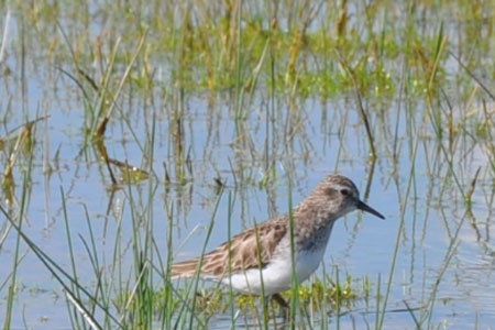 Least Sandpiper in reserve playa pool. Photo by Chris Swarth