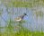 Sandpiper in vernal pool